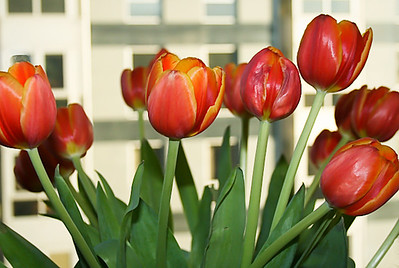 SM-tulips and condo-Exp