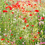 "Print title:  ""  POPPY DELL ""  / © Gj"