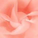 """Print title:  """"  ROSE BUD   """"  /  © Gj"""