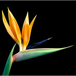 "Print title:  ""  BIRD OF PARADISE  ""  /  © Gj"