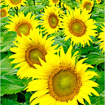 "Print title:  :  ""  SUNFLOWER  JEWELS  ""  / © DJ"