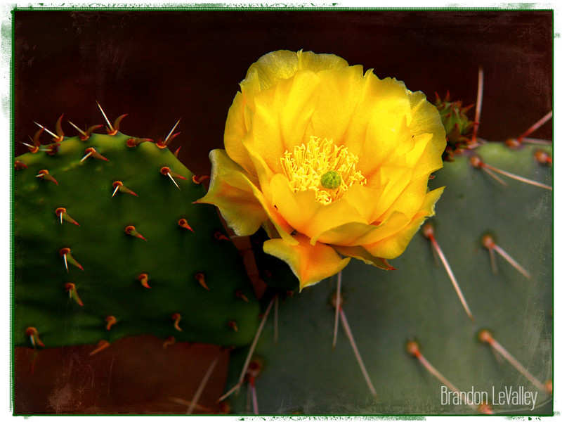 CACTUS FLOWER DRESSING