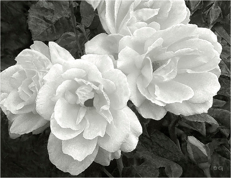 "Print title:  ""  VICTORIAN ROSES """