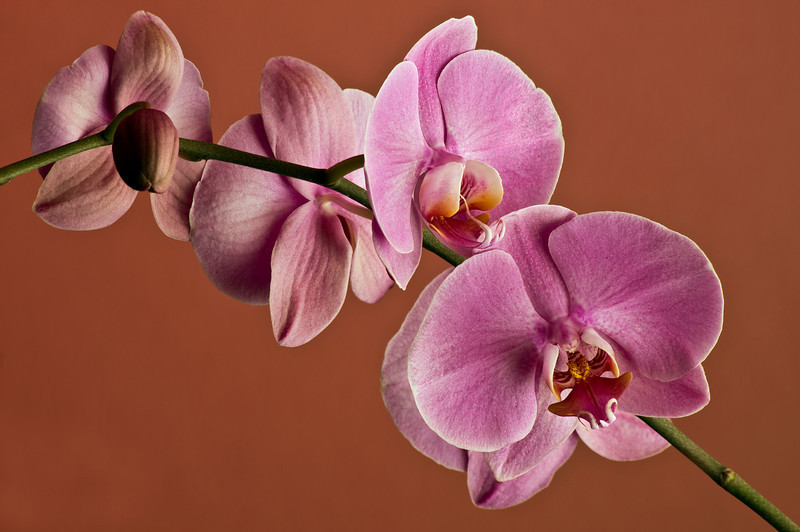 ORCHID, IMAGE 702