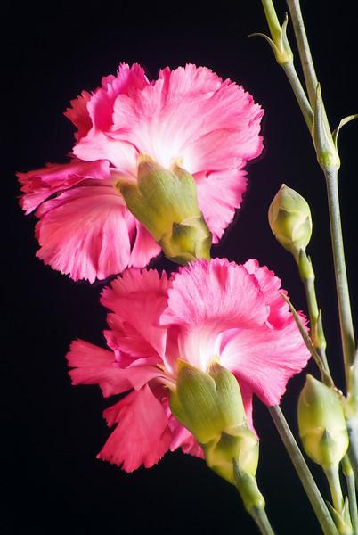 CARNATION BOUQUET FLOWERS HLC1