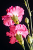 CARNATION BOUQUET FLOWERS HLC1
