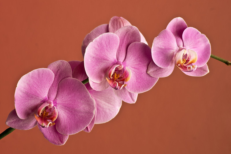 ORCHID, IMAGE 727
