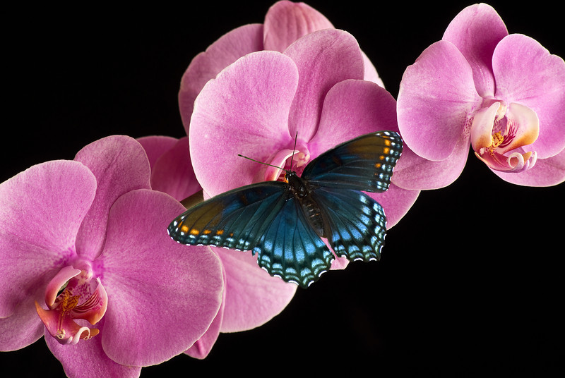 THE ORCHID AND THE BUTTERFLY