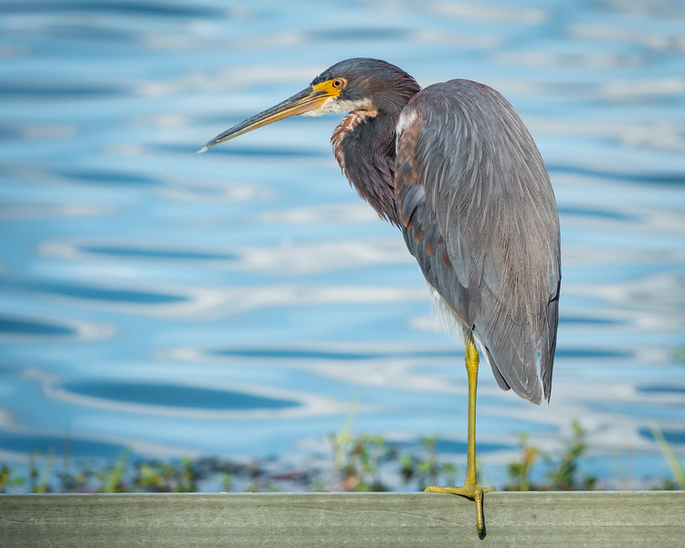 Tricolored Heron at Celebration Park