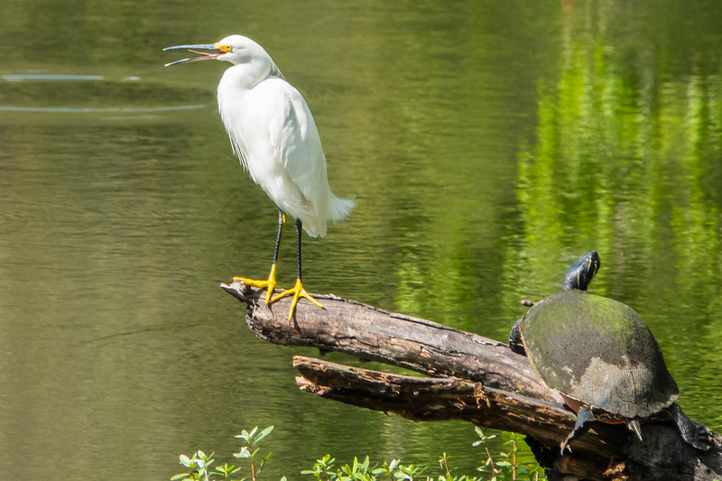 Snowy Egret and Peninsula Cooter turtle at Sawgrass Park