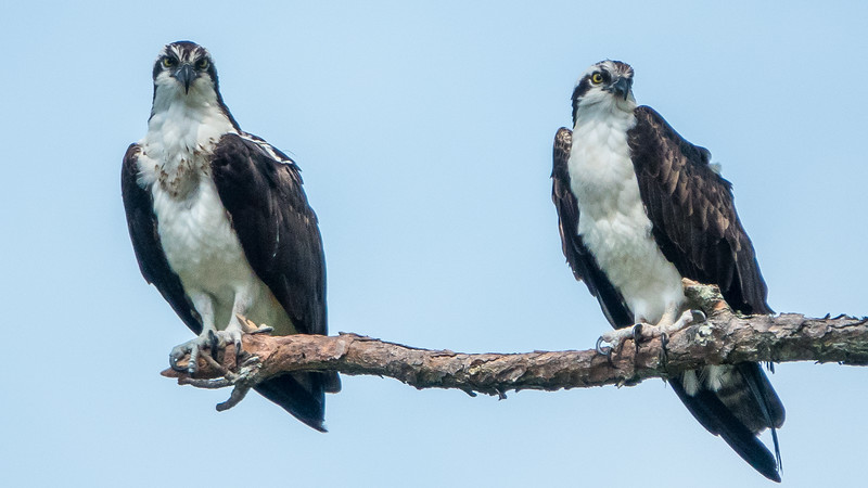 Osprey at Honeymoon Island State Park