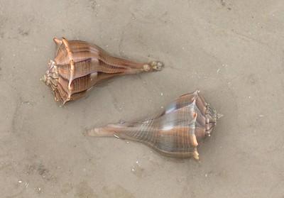 Seashell Estero Beach FL IMG_4634 CR2