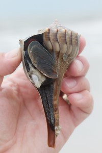 Seashell Estero Beach FL IMG_4045 CR2