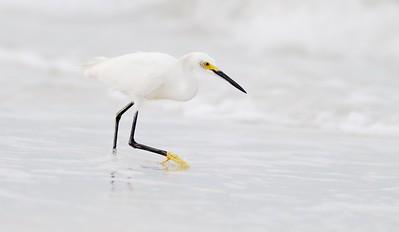 Snowy Egret Estero Beach Lagoon Ft  Myers Beach FL IMG_3601 CR2
