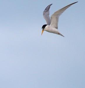 Least Tern Estero Beach Lagoon Ft  Myers Beach FL IMG_3573 CR2