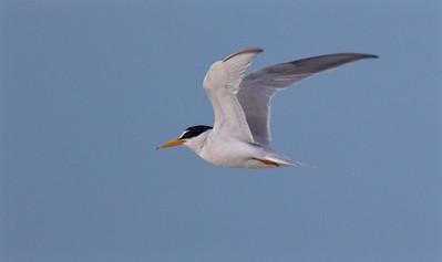 Least Tern Estero Beach Lagoon Ft  Myers Beach FL IMG_3581 CR2
