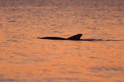 Dolphin Estero Beach, FL 784_8421