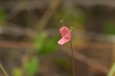 Utricularia purpurea? Purple Bladderwort? Corkscrew Swamp FL 786_8637