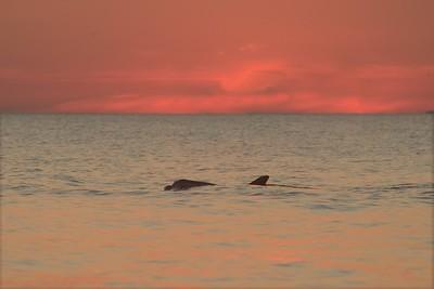 Lone Dolphin sunset FL 784_8437