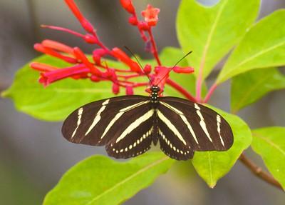 Zebra Longwing Heliconius charitonius Lovers Key State Park Ft  Myers Beach FL IMG_4216 CR2