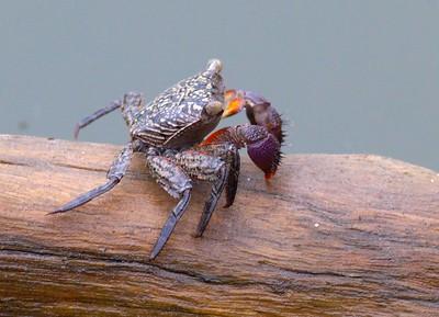 Mangrove Tree Crab Aratus pisonii Lovers Key State Park Ft  Myers Beach FL IMG_4198
