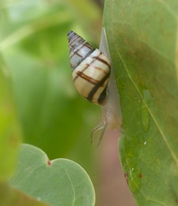 Lined Tree Snail Drymaeus multilineatus Lovers Key State Park Ft  Myers Beach FL IMG_4207