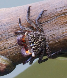 Mangrove Tree Crab Aratus pisonii Lovers Key State Park Ft  Myers Beach FL IMG_4189