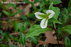 Green striping of the white trillium indicates disease caused by an organism called mycoplasma; an entity with characteristics of a virus, a fungus and a bacterium, which is often spread by leaf hoppers and other sucking insects.Eventually the virus causes the plant to become sterile and unable to reproduce.