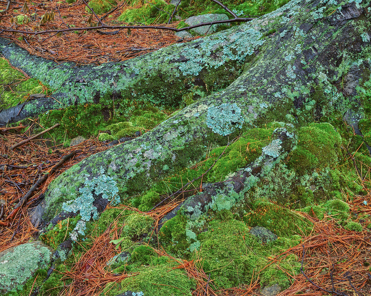 Roots, Lichens, Moss And Pine Needles