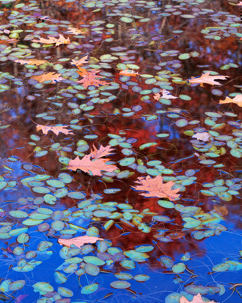 Water-shields And Oak Leaves