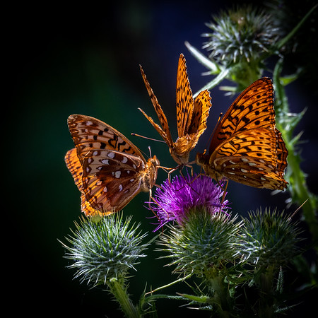 Lunch Meeting--- A ripe bloom brings together a trio of fritillary butterflies along a meadow near Big Summit Prairie in the Ochoco Mountains of Central Oregon.   #flower #flowerstagram #flowersofinstagram #floral #flowermagic #flowerslovers #flowerpower #instaflower #blossom #blooms #bloom #instaflowers #butterfly #butterflies #theNWadventure #outdoorphotographer#oregonexplored #nwadventurephoto #pnwisbeautiful #pacificnorthwest #bestofnorthwest #oregonnw #oregonofusa #oregonadventures #bofo1k #outinoregon #oregon_of_usa #naturaloregon