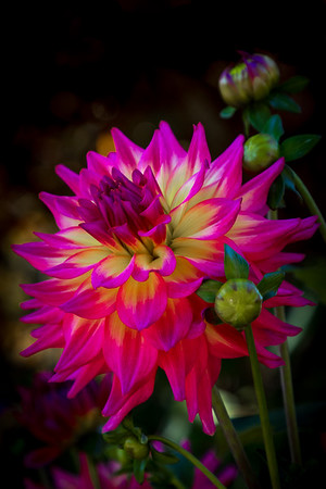 THE DELIGHTFUL DAHLIA--- One of the benefits of taking photos of flowers from the Spring through the Fall is that we can revisit those wonderful colors in the wintertime.  I look forward to those warm days and the sights and smells they bring.    #flower #flowerstagram #flowersofinstagram #garden #floral #plants #flowermagic #floweroftheday #flowerslovers #roses #flores #flowerporn #florist #flowerpower #instaflower #blossom #blooms #macro #botanical #petals #spring #bloom #flowerstalking #florals #instaflowers   #jj_oregon #sourceweekly   #cascadejournal #centraloregon_igers #backyardbend