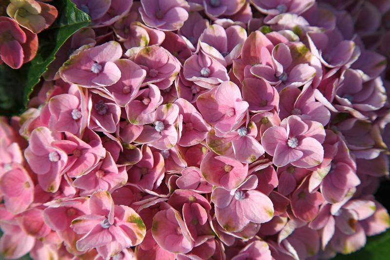 Collective harmony - Hydrangea flower