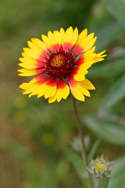 Cheerfulness - Gaillardia pulchella flower