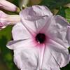 Gratitude - Ipomoea carnea flower