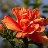 A Golden Hibiscus - Birth of the Truth-World / Золотой гибискус - рождение Мира Истины