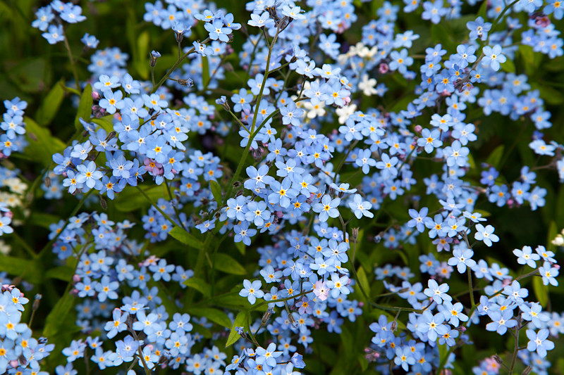 Lasting remembrance - Myosotis sylvatica flower