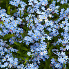 Lasting remembrance - Myosotis sylvatica flower