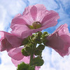 Psychic offering - Malva flower