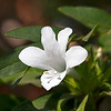 Integral opening of the being to the Divine - Barleria cristata flower