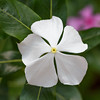 Integral progress - Catharanthus roseus 'Albus' flower / Интегральный прогресс