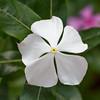 Integral progress - Catharanthus roseus 'Albus' flower / Интегральный прогресс