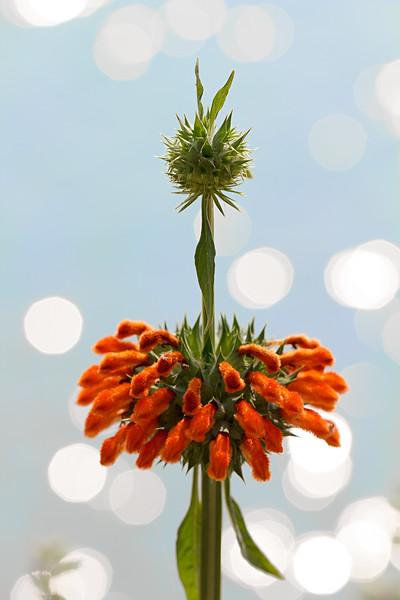 Ascension - Leonotis nepetifolia flower