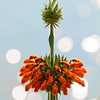 Ascension - Leonotis nepetifolia flower