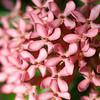 Psychic aspiration - Ixora chinensis flower