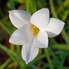 Integral Prayer - Zephyranthes flower / Интегральная молитва - цветок зефирантес