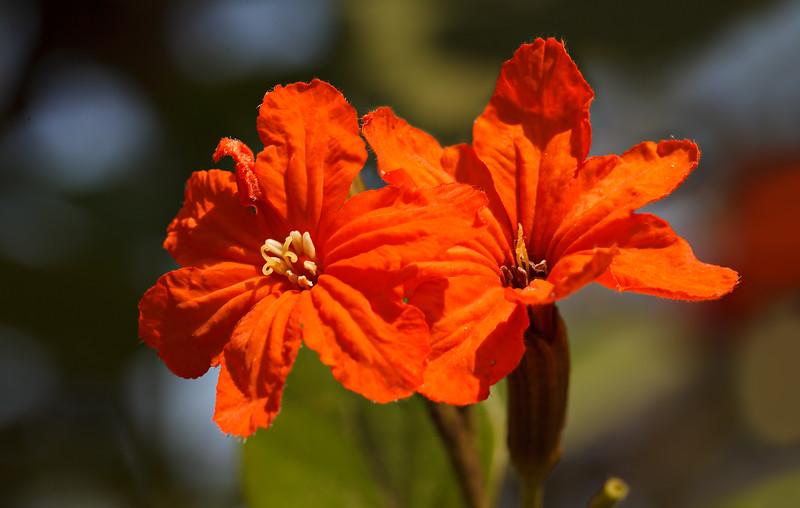 Adoration - Cordia sebestena flower