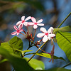 Determination - Kopsia fruticosa flower