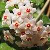 Power of collective aspiration - Hoya carnosa flower / Сила коллективного устремления