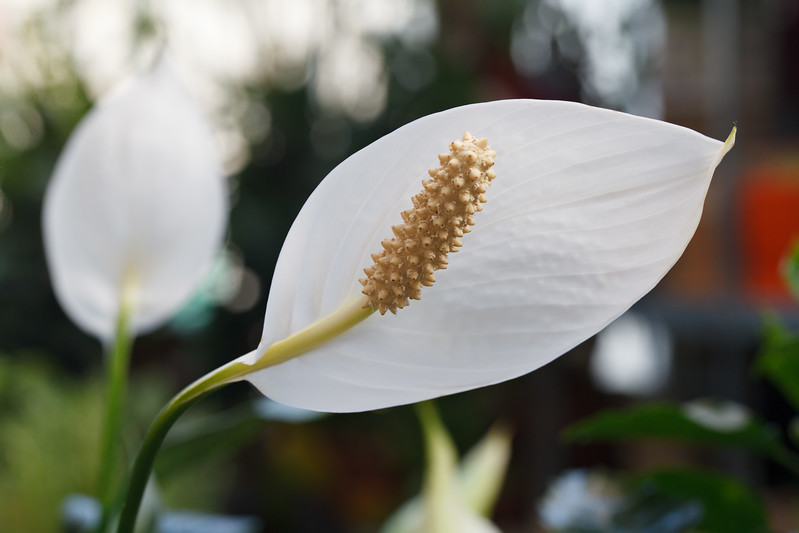 Aspiration for purity - Spathiphyllum flower